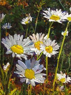 ..ich liebe Margareten Blumen und jetzt ich einen richtigen Strauss !! Sehr tolle Mosaik !!!!