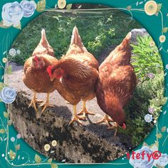 Caty,Labionda&Jeme❣️ Rooster, Animals, Animales, Animaux, Roosters, Animal, Animais, Dieren