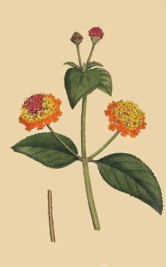96. Lantana Aculeata. Prickly Lantana.