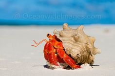Red Hermit Crab (Coenobita perlata) / Cocos (Keeling) Islands, Indian Ocean, Australia