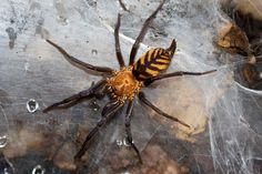 My spirit animal! The Tiger Spider, Bolivia's Own Ferocious Striped Predator