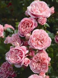 Floribunda 'Bailando' ® - Rosa 'Bailando' ®