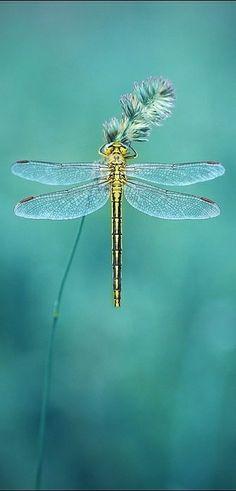 Libelle | Dragon Fly