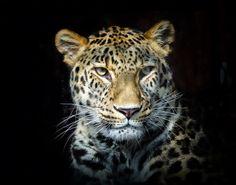 Leopard by Jesus Martin Mirelis on 500px