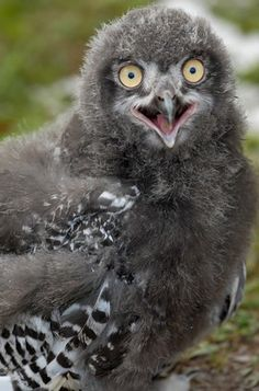 Baby Snowy Owl by J.T. Lewis
