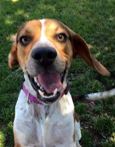 39 Rocket is an adoptable Beagle searching for a forever family near Canton, OH. Use Petfinder to find adoptable pets in your area.