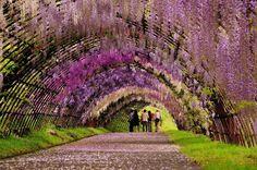 Tunnel dì glicini nel Kawachi Fuji garden Giappone