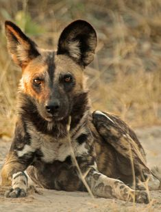African Wild Dog African Hunting Dog, African Wild Dog, Hunting Dogs, Rare Animals, Jungle Animals, Wild Animals, Coyotes, Beautiful Creatures, Animals Beautiful