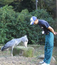 Young Shoebill & it's handler!  God Bless it!  (: