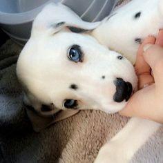 #Cute dalmatian