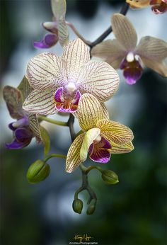 Tropical orchids