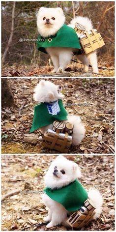 Cute :3 Attack on Titan pom  pom - omg such a cute doggie cosplay <3