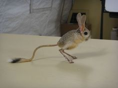 I Just Found Out Jerboa Rats Exist