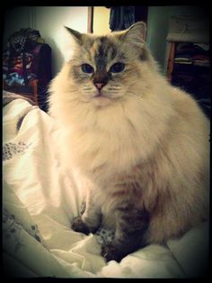 Flanelle the ragdoll cat
