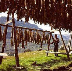 Drying cod as stock fish.   Eskifj�r�ur Iceland