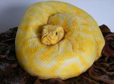 creepiest-snake-cake-yellow-python-