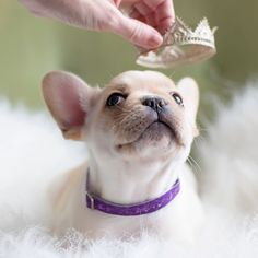 """Does the little princess want a crown?"" French Bulldog Puppy."