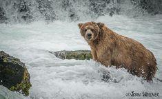 Regal Katmai bear, Four-Ton (#410) at Brooks Falls