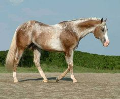 Great Looking Speckled Two-Toned Chocolate Roan. Might Even Have Some Pinto Blood in this Wild Beauty.