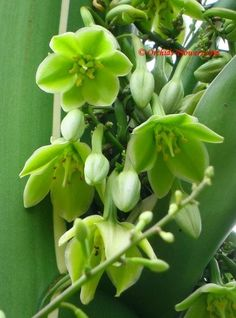 Furcraea foetida (Giant Cabuya, Green-aloe or Mauritius-hemp) is a species of flowering plant native to the Caribbean and northern South America. Flowers are greenish to creamy white, 4 cm long, and strongly scented; they are produced on a large inflorescence up to 7.5 m tall.