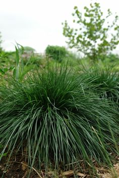 Low maintenance landscaping ideas for zone 5 views from for Short ornamental grass varieties