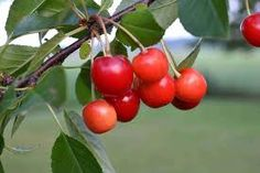 """Zone 3-8. The Evans Bali cherry tree produces a sweet-tart cherry with fruit 1"""" in diameter. Fruit is much sweeter than other sour cherries. A self-fertile variety, it is extremely hardy and a great addition to any orchard."""