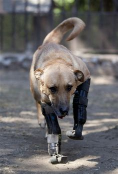 Belgian shepherd mix, Pay de Limon or Lemon Pie, walks using his prosthetic front legs on the grounds of Milagros Caninos. Milagros Caninos is a sanctuary for abused and abandoned dogs, in Mexico City. About 128 abused dogs are sheltered at the Milagros Caninos sanctuary. Dogs on wheelchairs, blind, deaf or ill frolic and run around the huge sanctuary in the southern part of Mexico City. Photo credit: Eduardo Verdugo / AP