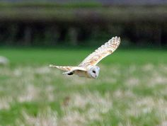 Another Bird Blog: Missing In Action  Those midday Barn Owls showed again, this time an obvious pair since they hunted the same fields. They weren't quite in tandem with one of them much more active than the other which sat in the adjacent hedgerow for a good hour. I was still on ISO1200.