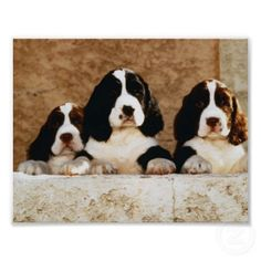 Best Puppy Holistic Dog Care Tips are very simple. Regular exercise and real dog food are the best foundations. English Springer Spaniel, Springer Dog, Springer Spaniel Puppies, Spaniel Dog, Spaniels, Field Spaniel, English Cocker, Best Puppies, Dogs And Puppies