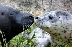Une maman phoque et son bébé au zoo de Bruges, en Belgique. Photo: AFP/Boudewijn Seapark