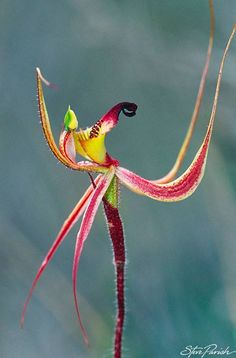 Clubbed Spider Orchid