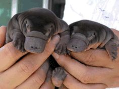 baby platypus. So cute!!!