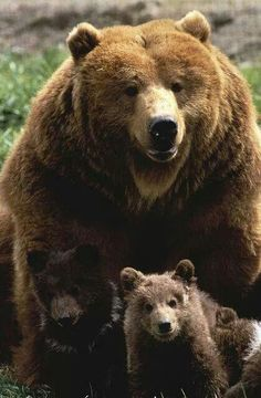 Grizzly bear Mama n cubs