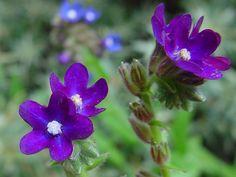 Anchusa officinalis (Alkanet) (Common bugloss)