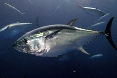 Southern bluefin tuna are classified as 'critically endangered' on the IUCN's Red List of threatened species, which means it 'faces an extremely high risk of extinction in the wild'.