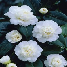 Camellia japonica white - evergreen and can grow in pot