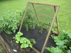 My husband just finished building me a trellis that can be collapsed for the winter. My cucumbers are still young yet so they aren't too far up the trellis yet. I love it. It fits my garden perfectly. Here is a link that might be useful: Trellis Pictures