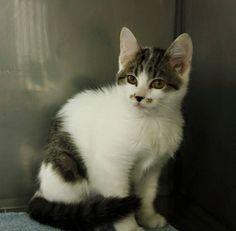 Beautiful adoptable kitten - http://www.madisoncountyhumanesociety.org/