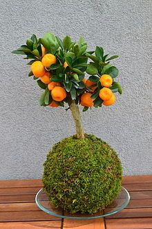 Unique Kokedama Ball Ideas for Hanging Garden Plants Mini Garden, Japanese Garden, Plants, Japanese Moss Balls, Kokedama, Bonsai Plants, Moss Garden, Ikebana, Moss Balls