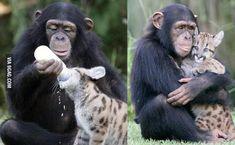 A chimp bottle feeding a leopard... nbd