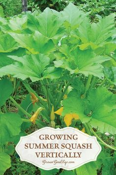 Growing Summer Squash Vertically | Grow a Good Life |   Growing summer squash vertically by trellising or in tomato cages helps to save space, encourages air circulation, and allows the squash to be more visible reducing the chance of overgrowth.