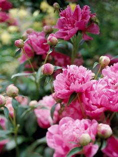 Peonies are a perennial that can be grown in sun and part sun in zones 3-8 The plant grows to 2 to 3-1/2 feet tall and 2 to 3-1/2 feet wide and bloom mid to late spring, depending on variety and can be used in containers, beds and borders.  The plant produces fragrant attractive flowers and foliage and be used for cut flowers.  The plant is easy to grow and are deer resistant.