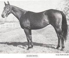 Searching(1952)(Filly)War Admiral- Big Hurry By Black Toney. 4x4 To Ben Brush, 5x5 To Domino. Bred By Phipps, But Was A Disappointment In Her First 20 Races And Was Sold To Jacob Hirsch Who Changed Equipment And Searching Turned Into A Major SW. 89 Starts 25 Wins 14 Seconds 16 Thirds. $327,381. Her Dam Was A Daughter Of La Troienne.