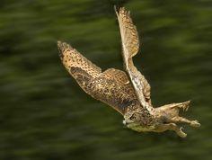 Eagle Owl - null