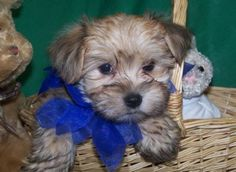 Image Detail for - Morkie Puppies For Sale