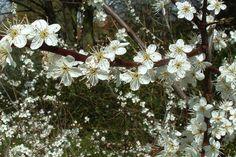 Schlehe  Die Prunus spinosa (Schlehe) ist eine einheimische Heckenpflanze, die sich vor allem zur Verwendung in wilden Hecken und Wallhecken eignet. Da Schlehen viele Wurzelsprossen haben, eignen sie sich nicht zur Verwendung im Garten. Schlehen blühen von März bis April/Mai und ziehen dabei viele Insekten an, vor allem Bienen. Im Spätsommer bekommen die Schlehen schwarze Beeren, die zum Einmachen von Marmelade, Obstsaft und Wein verwendet werden können.