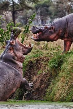 Volunteer with Via Volunteers in South Africa and be amazed by our wildlife! https://www.viavolunteers.com/ Arguing hippo by Scott Hanson
