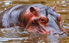 Interesting facts about hippos | Just Fun Facts