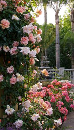 Climbing rose ~ 'Royal Sunset' and hedge rose