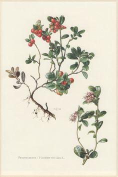 1960 Botanical Print Vaccinium vitis-idaea by Craftissimo on Etsy